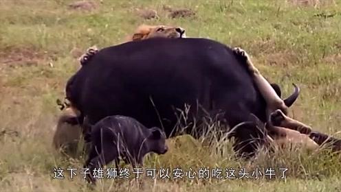 世道真稀奇,狮子竟然从同伴手中救出小牛幼崽,结局原来是这样!