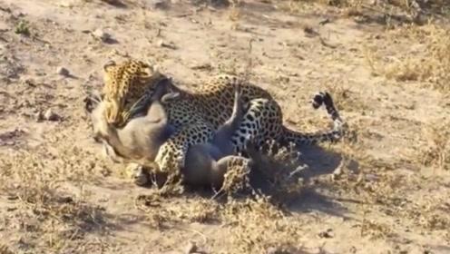 疣猪进食惨遭花豹偷袭,还没来得及反应,就被花豹按倒在地上