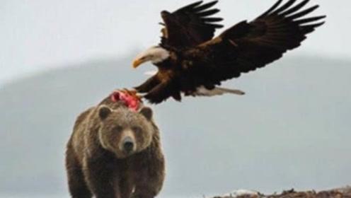老鹰从高空俯冲,不料错把棕熊当野兔,飞到却跟前为时已晚