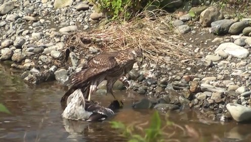 猎隼猎杀比自己大两倍的野鸭,非要将它淹死才吃,让人难以理解