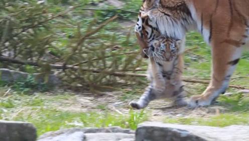 小老虎萌翻了,被妈妈拎完被饲养员拎,小老虎:我不要面子的吗