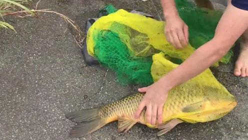 真没想到,几个小伙伴在河里搅合半天,竟然逮到一条大鲤鱼
