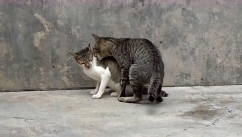 这只狸花猫上前就是一口,叼住小伙伴的脖子不放,说好的友谊呢?