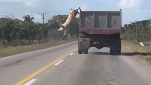 一头母猪从车上一跃而下,结果猪算不如天算,请大家憋住别笑!