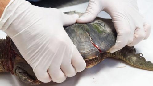 乌龟离开龟壳能不能存活?专家切开龟壳发现秘密,网友:长知识
