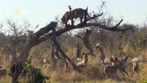 """躲到树上颤颤发抖的猎豹:""""没想到自己也有今天"""""""