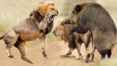 """野猪碰上""""草原之王""""狮子,谁更胜一筹,看完就明白了"""