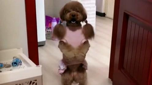 主人不舒服,泰迪妞妞还逼着主人上班,哪有这样的狗狗