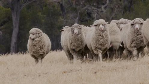 国外的羊毛流水线,羊儿满脸生无可恋,重重工序将羊毛变布料