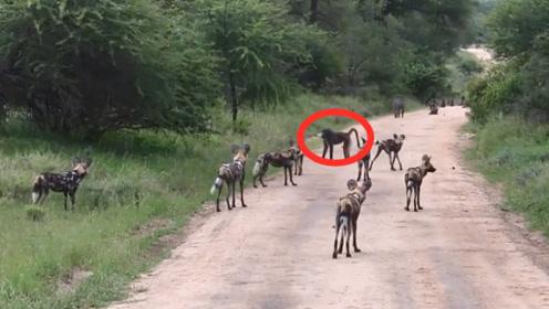 不怕死的狒狒,独自单挑10几条野狗,比草原之王狮子还霸气!