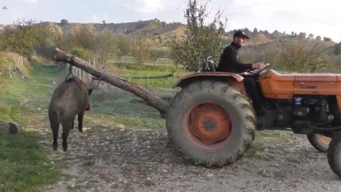 400斤野猪误闯村庄,村民合力将其制服,场面壮观!