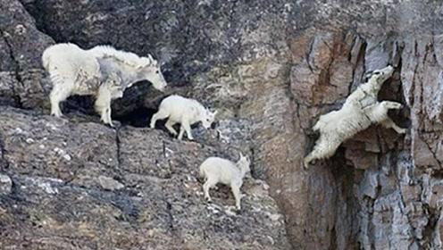 """世界上最""""神奇""""山羊,能在悬崖上飞檐走壁,被称为""""轻功大侠""""!"""