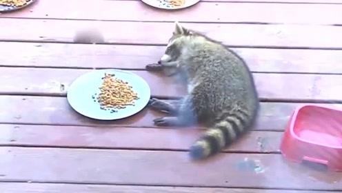 一只懒出新高度的小浣熊,看到它的举动你还敢说自己是懒癌患者?