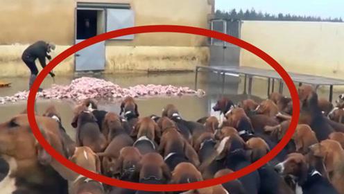 肉就在地上,没有命令狗狗们都不敢吃,下命令后一拥而上!