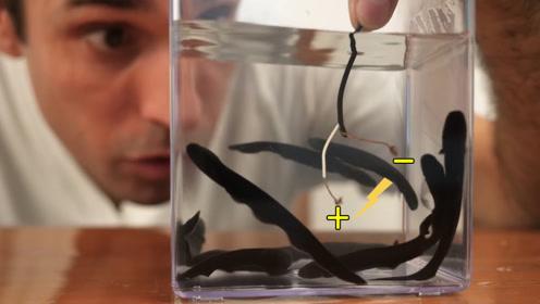 浑身带电的电鳗也会怕电?老外通入电极实验,有趣的现象发生了!