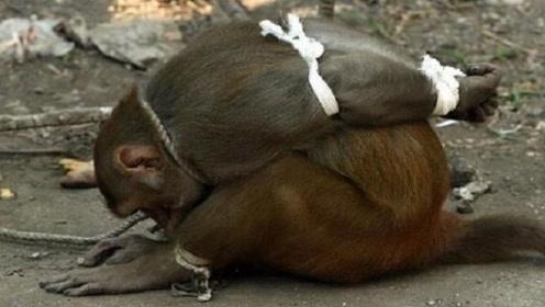 猴子泛滥成灾,印度政府:每捉到一只猴子可获奖励50元!