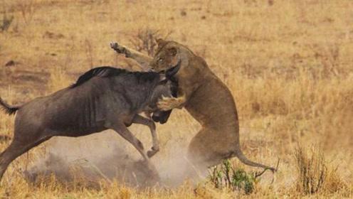 最强角马绝杀两只狮子,一只被角刺穿,一只被摔飞!