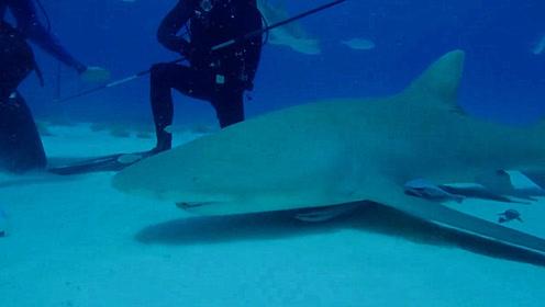 外国小伙为测试鲨鱼的嗅觉,把血液滴入海水中,结果让人难以理解!