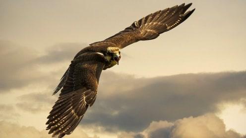 老鹰太自负,觉得自己实力不错,能和狮子一较高下,作死的冲上去挑衅人家