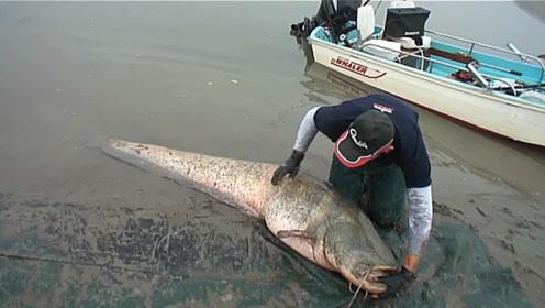 厉害了,200多斤的大鲶鱼你见过吗?牛人开船钓上巨型大鲶鱼!