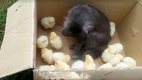 小鸡仔把猫咪当成妈妈,猫咪的举动让人意外,这还是高冷的喵星人吗?