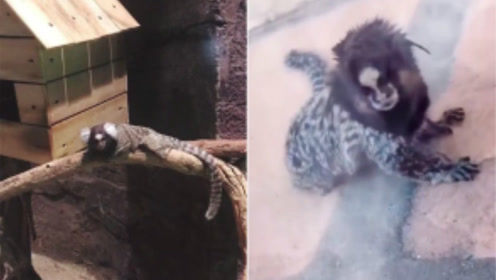 """国外动物园惊现""""人面兽"""",中国游客惊呆:这不是《山海经》里的吗?"""