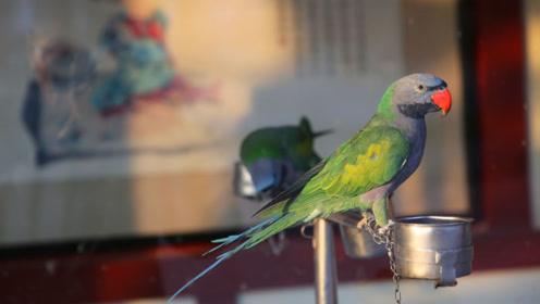 鹦鹉成精了,说话唱歌还爱钱,唱我是一只小小鸟把大家逗乐了