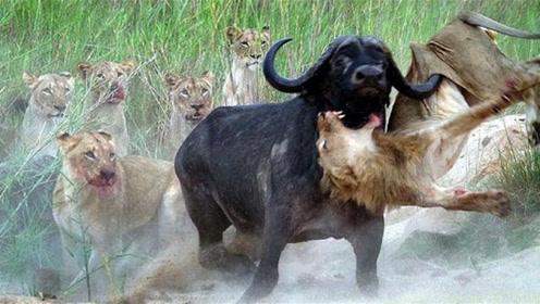 狮子狩猎野牛,却被野牛顶破肚子性命垂危,镜头记录残忍时刻!