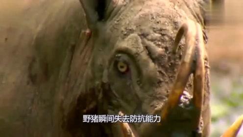 这种猪的战斗力超乎你的想象,十匹狼联合起来都不一定是它的对手