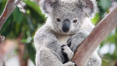 澳大利亚的国宝考拉脾气火爆,一言不合就开打,势必要分出胜负为止