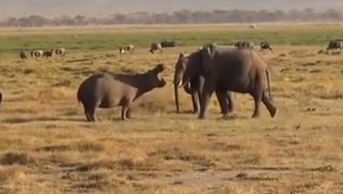 河马群在河中泡澡,大象直接强势过河,镜头拍下罕见画面