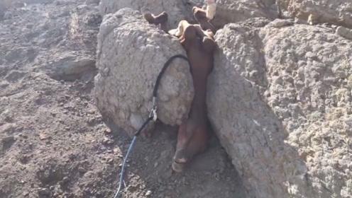 一匹马卡在了石缝中,接下来的画面让人感动,镜头拍下全过程!