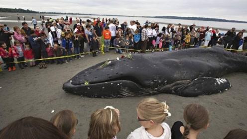 鲸鱼一心求死,拼命往岸上游,专家剖开肚子后不淡定了!
