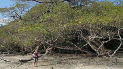 世界上最霸道的树,谁只要敢动它,它就敢要谁命