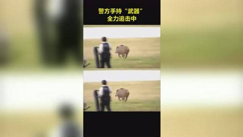 东京都足立区荒川附近惊现野猪,警方全副武装全力追击...