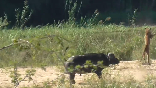 水牛为救蜥蜴,一头顶飞狮子,真是太厉害了!