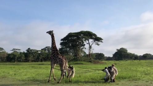 一群人将长颈鹿推到在地,躺在地上不断挣扎,结局让人暖心