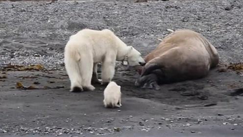 北极熊母子好不容易看到一顿大餐,却被海象一声吼,吓得撒腿就跑