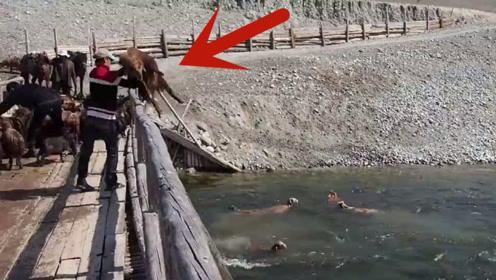 你见过这样洗羊吗?抱起一只羊就往河里扔,羊:敲里咩啊!