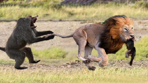小猴下树玩耍,被狮子一口咬住咽喉,猴妈妈在树上目睹全过程!