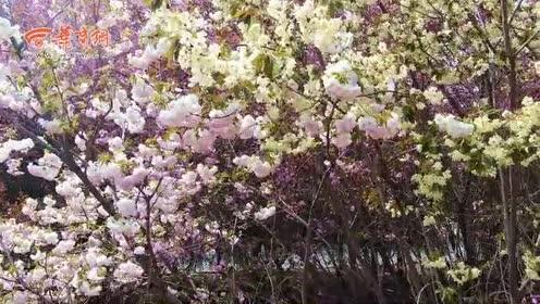 陕西师范大学内竟藏了一个樱花园!