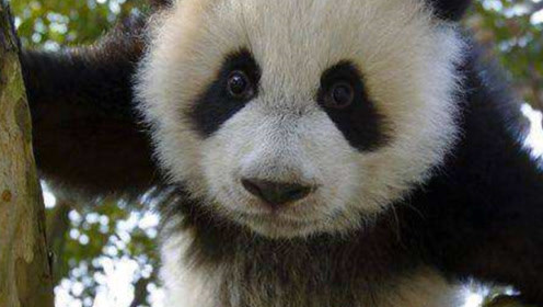 为什么中国的熊猫很脏,而在日本的熊猫却很干净?熊猫:想要回国