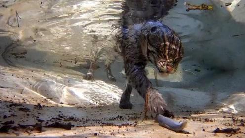 女子捡回一只野猫,长大后常去河边捕鱼,专家一看直呼:这就不是猫!