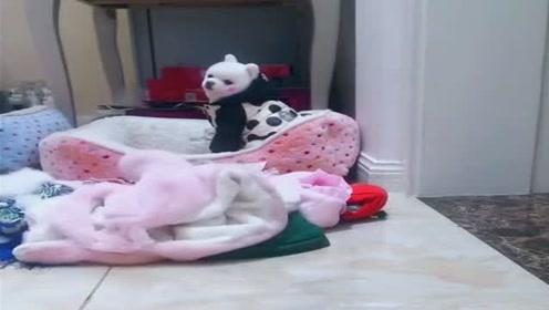 博美狗狗的衣服好多呀,真是幸福的毛孩子,太让人羡慕了!