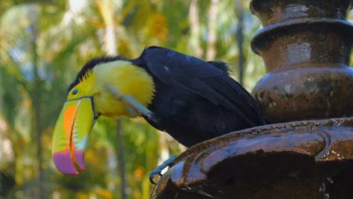 呆萌可爱的巨嘴鸟,各种精彩瞬间,镜头记录全过程
