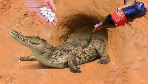 用可乐和曼妥思竟能捉到鳄鱼?小伙作死实验,镜头拍下惊险一幕!