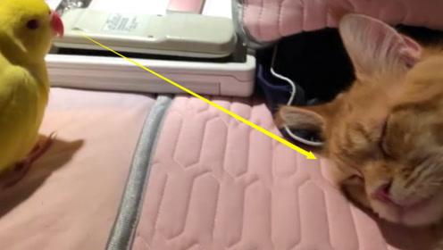 猫咪正在睡觉,鹦鹉花样作死挑衅猫咪,猫咪:当我吃素的