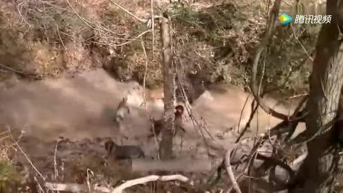 四只猎狗围攻一只大野猪!谁更胜一筹呢!