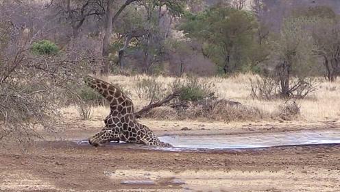 长颈鹿在水边喝水,因腿太长陷入尴尬局面,看到最后忍不住笑了!