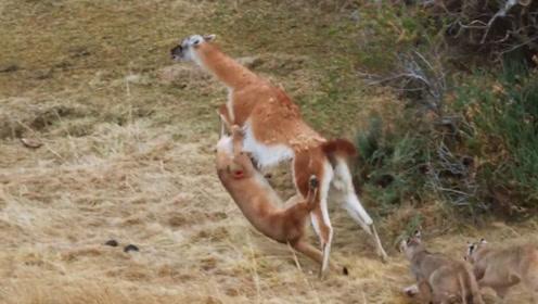 羊驼被美洲狮攻击,拼命反抗,以一敌四逆转战局
